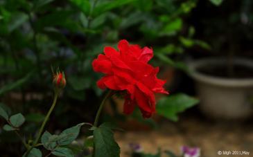 羞答答的玫瑰