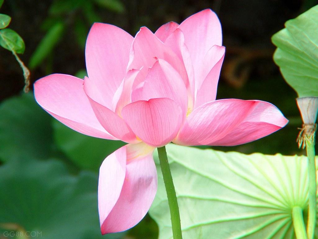 莲花菩提_心是莲花开 - 千叶花开的博客 - 红豆博客