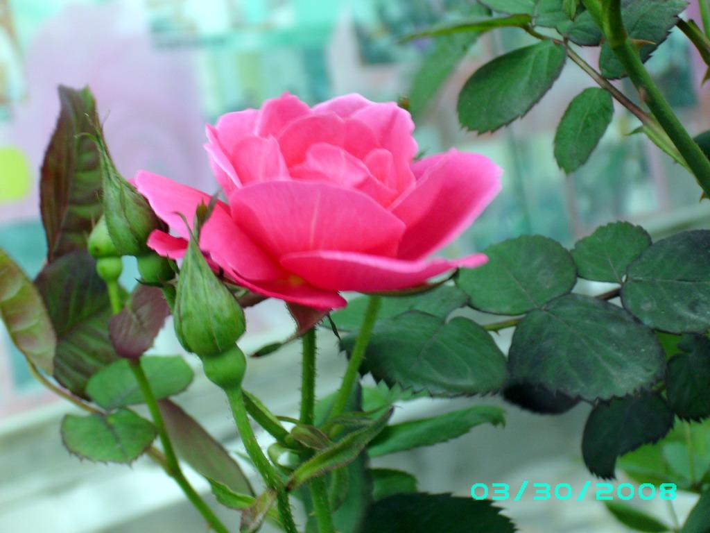 心中的玫瑰