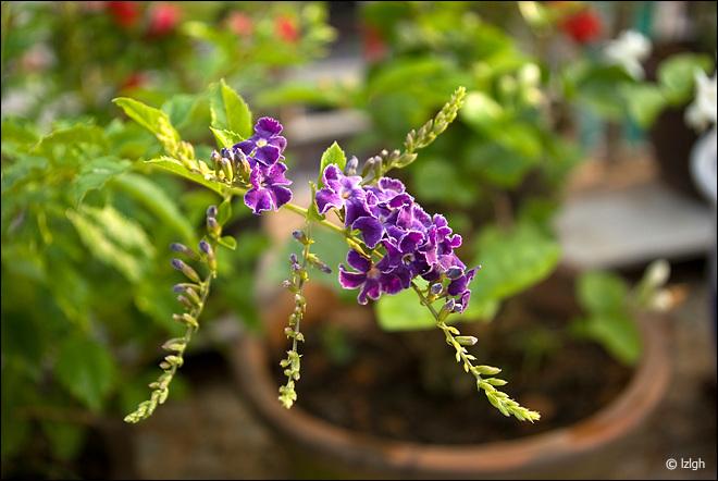 自家露台小花园的花卉