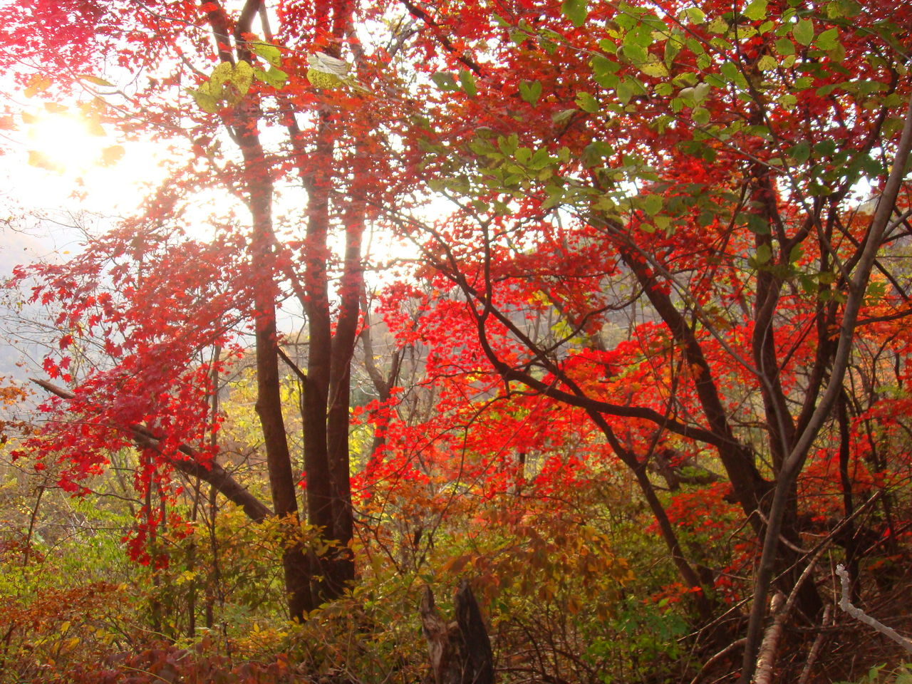 壁纸 枫叶 风景 红枫 树 1280_960