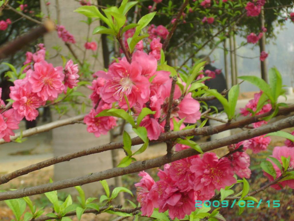 桃花朵朵开 - 千叶花开的博客 - 红豆博客