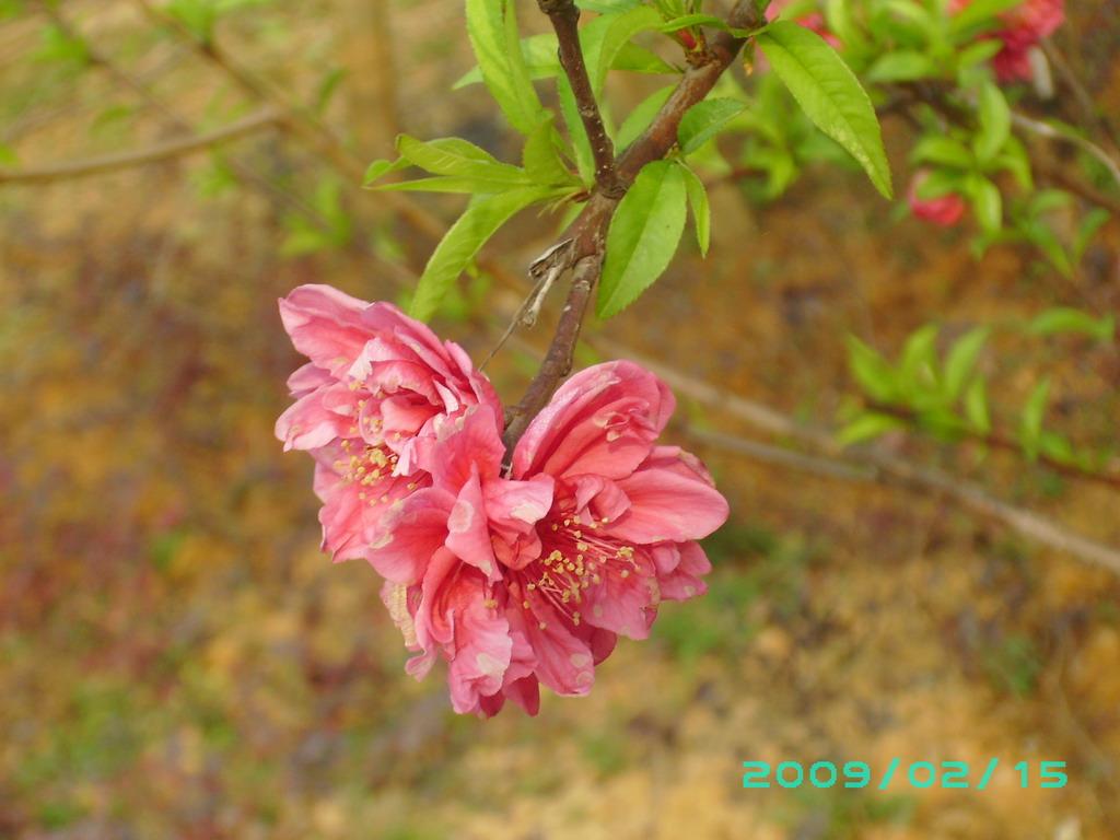 桃花朵朵开-掌上红豆