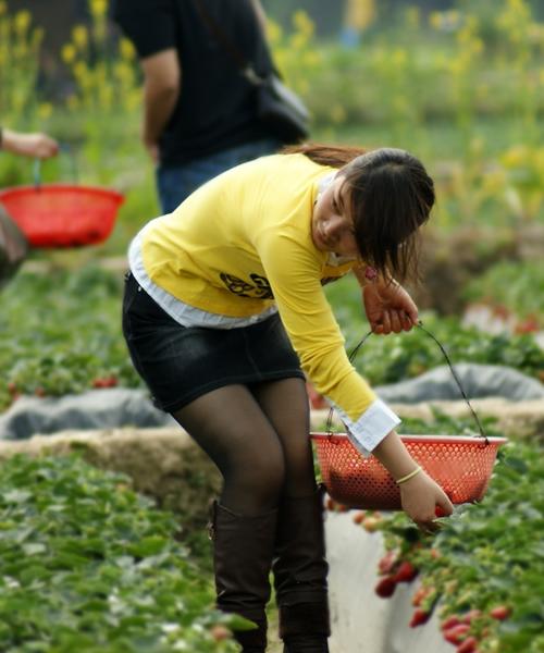 周末跟着美女去摘草莓组图