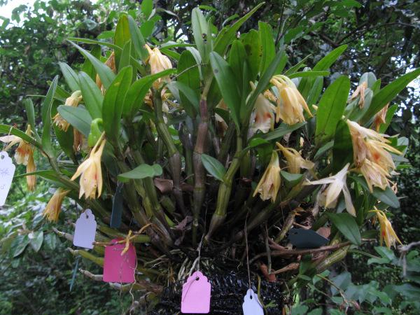 这些兰花是人为移植到树上的