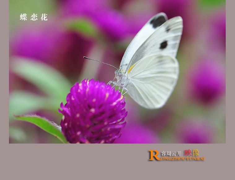 紫色蝶恋花曲谱