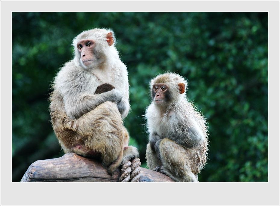 猴子的母爱