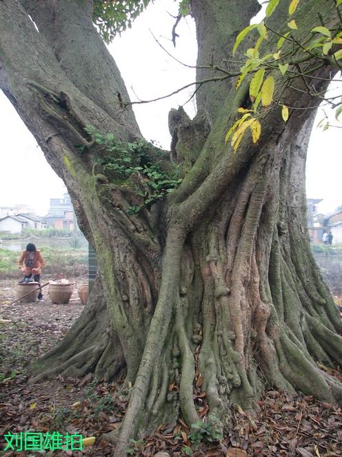 院子里有一颗老树