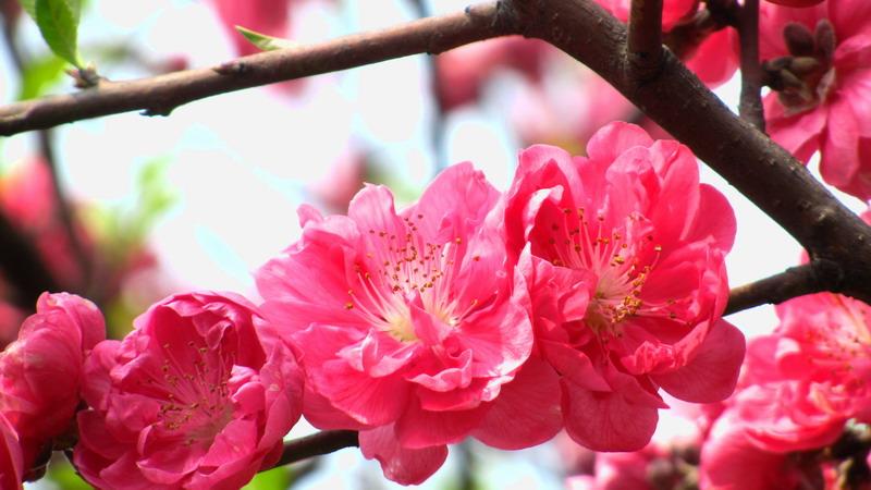 红桃.粉桃